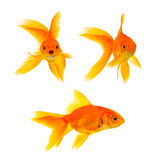 Three goldfishes Stock Photos