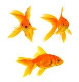 Three goldfishes Stock Photos
