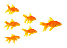 Three goldfishes Royalty Free Stock Image