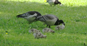 Three goose and four goslings 4K FS700 Odyssey 7Q stock video footage