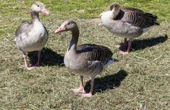 Three goose Stock Photo