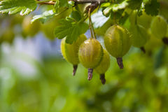 Three gooseberries. On the branch closeup Stock Photography