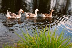 Three gooses Royalty Free Stock Photo