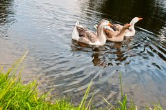 Three gooses Stock Photos