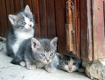 Three gorgeous little cats. White and grey Stock Image