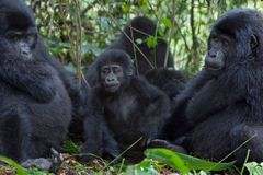 Three Gorillas Stock Image