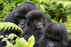 Three Gorillas Royalty Free Stock Photos