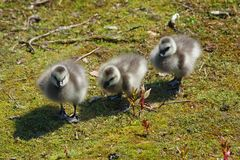 Three goslings Royalty Free Stock Images