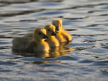Three Goslings. Swim on a sunny evening royalty free stock image