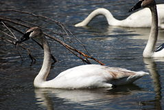 Three Graceful Trumpeter Swan Royalty Free Stock Photography