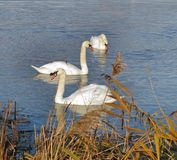 Three graceful white Swans Royalty Free Stock Images