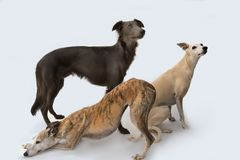 Three gracefully whippets posing for a photo royalty free stock photos
