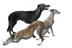 Three gracefully whippets posing for a photo stock photography