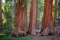 Three Graces, Yosemite. The Three Graces in Mariposa Grove of giant redwoods, Yosemite National Park, California royalty free stock image