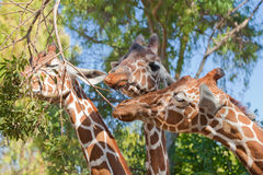Three gracious giraffes Stock Photography