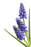 Three Grape Hyacinth Flower Royalty Free Stock Photos