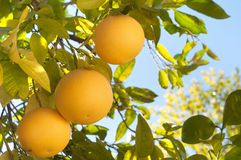 Three Grapefruit on a Tree in Southern California in Winter Stock Photo