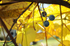 Three grapes hanging on a vine Stock Photo