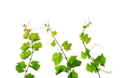 Three grapevine shoots. Single decorative branches of fresh grapevine, isolated on white background stock photos