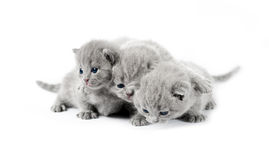 Three gray british kittens Stock Photos