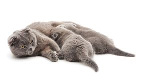 Three gray cats. On a white background royalty free stock photography