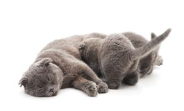 Three gray cats. On a white background royalty free stock image