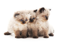 Three gray cats. Royalty Free Stock Photos