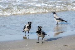 Three gray crows, Corvus Cornix, walking in shallow water stock images