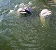 Three gray dolphins play in the Gulf of Mexico. Three gray dolphins play in the Florida Bay which is part of the Gulf of Mexico stock image