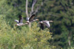 Three gray geese anser anser flying with forest in background Royalty Free Stock Photography