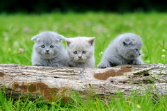 Three gray kitten on tree Royalty Free Stock Images
