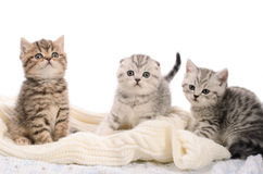 Three gray kittens sibs on white knitted fabric Royalty Free Stock Photo