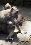 Three gray macaques play on the road in the monkey forest in Bal royalty free stock images
