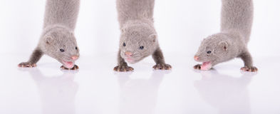 Three gray mink Royalty Free Stock Photography