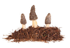 Three gray morel mushrooms and substrate isolated on white Stock Images