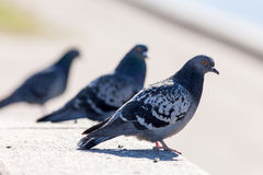 Three gray pigeon Stock Photography