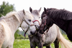 Three gray ponys standing near Stock Images