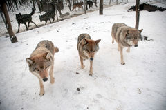 Three gray wolfs. At the wolf farm Stock Photography