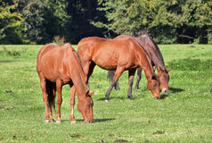 Three Grazing Bay Horses Stock Photos