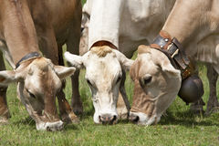 Three grazing brown swiss cattles. Grazing close brown swiss cattles royalty free stock photos