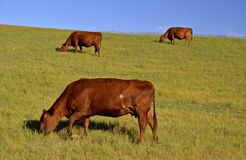 Three grazing cows. Three Red Angus cows graze in a pasture on a hillside Stock Photography