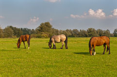 Three grazing horses in a Dutch meadow Stock Photos