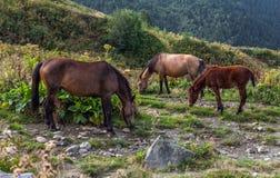 Three grazing horses. Tree grazing horses in mountains of Svaneti Georgia Royalty Free Stock Image
