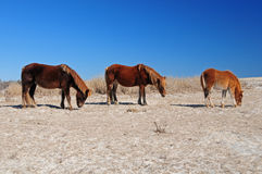 Three grazing ponies Stock Photography