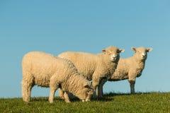 Three grazing sheep. Against blue sky Stock Photos
