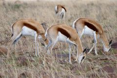 Three grazing Springbok in a field. Three grazing Springbok grazing in a field with heads down all facing the same way Royalty Free Stock Images