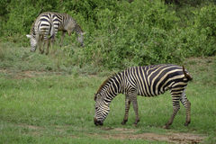 Three Grazing Zebras in Africa Royalty Free Stock Images
