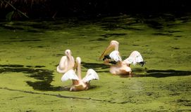 Great Asian White Pelicans. Three great asian white pelicans swimming and fishing for food in lake water, India royalty free stock images