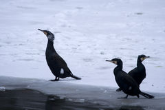 Three Great Black Cormorants. Three Great Black Cormorant (Phalacrocorax carbo) on the frozen side of the river Stock Photography
