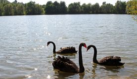 Three great Black Swans with very long neck in the pond Royalty Free Stock Photo